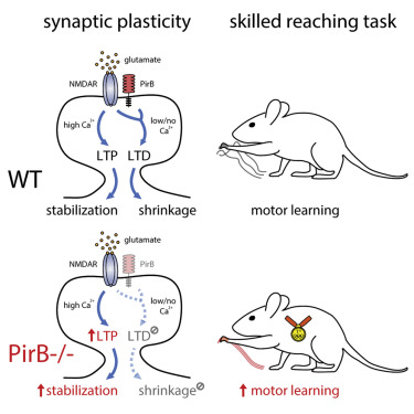 """Graphical abstract of the research showing elimination of synapse weakening in """"Olympian"""" mice"""