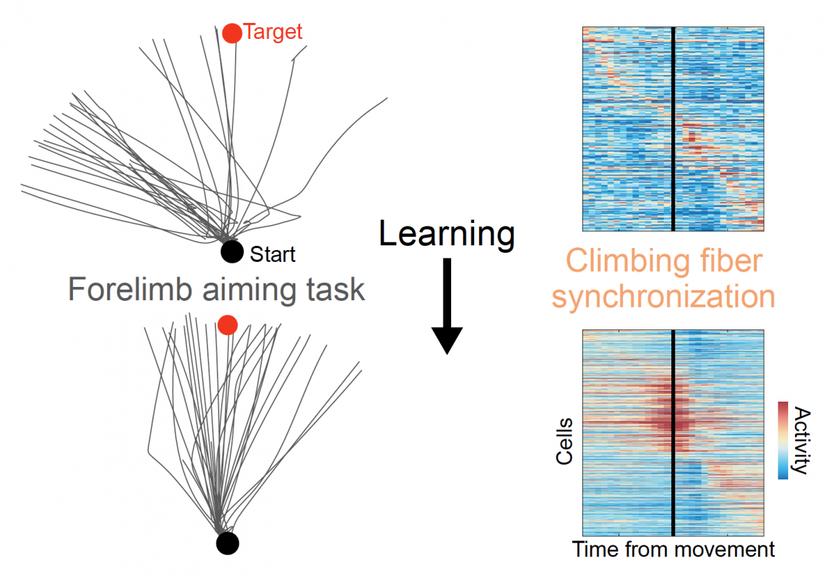 Figure showing how synchronized firing in the cerebellum increased as mice learned a new skill