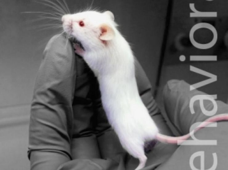 A white lab mouse explores an experimenter's gloved hand