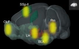 Illustration of light released across the brain by focused ultrasound