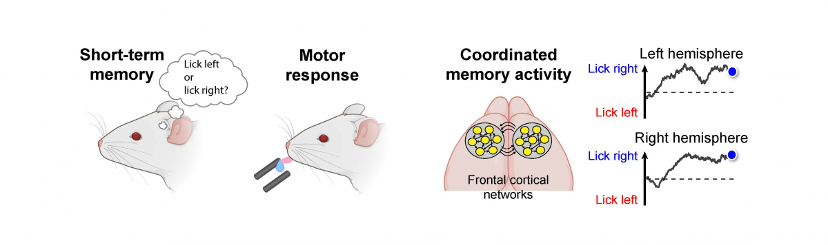 Graphical abstract illustrates coordinated neural activity seen during a memory task in mice.